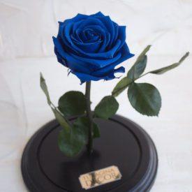 Роза-в-колбе-иваново-синяя