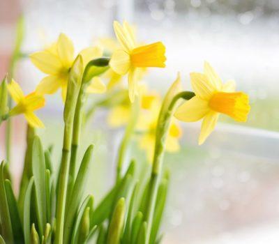 Нарциссы или Daffodils