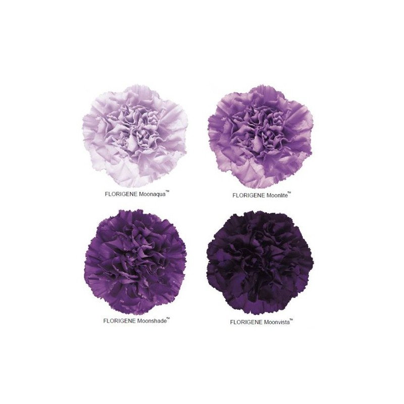moon-series-carnations-moonaqua