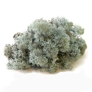 Серебристый-мох-ягель