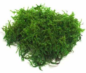 папоротниковый мох