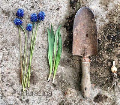 Мускари | Как ухаживать за весенними цветами