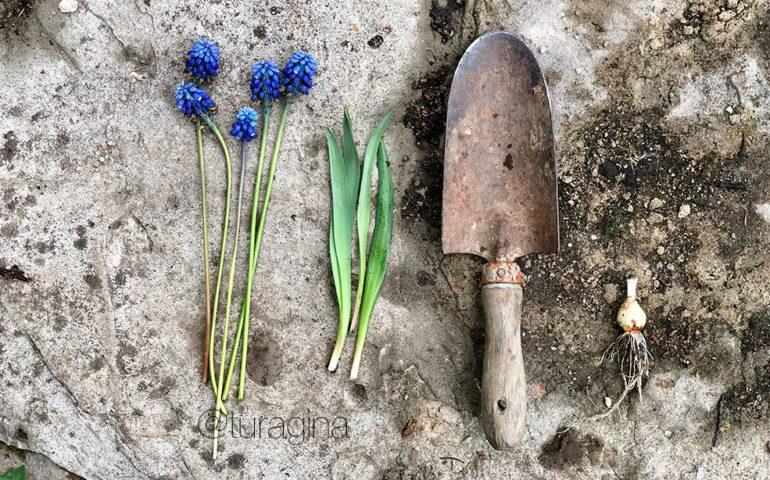 Мускари-в-саду-как-ухаживать